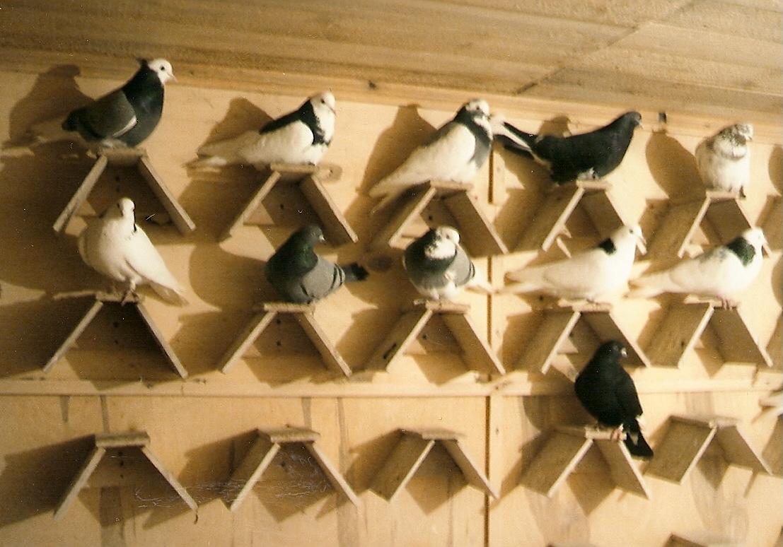 где купить опорное голубь в казани